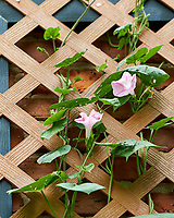 Morning Glory Blooms on the Chimney Trellis. Image taken with a Fuji X-H1 camera and 80 mm f/2.8 macro lens.