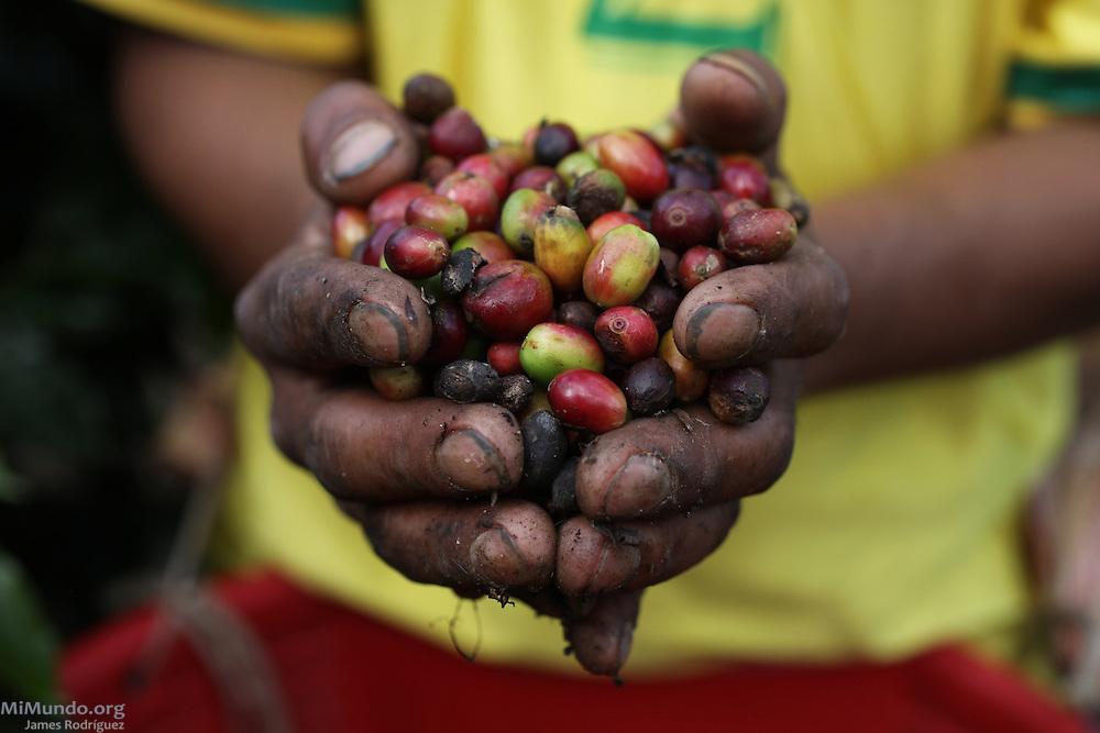 Ripe coffee cherries. COOPEAGRI, San Isidro de El General, Pérez Zeledón, San José, Costa Rica. August 27, 2012.