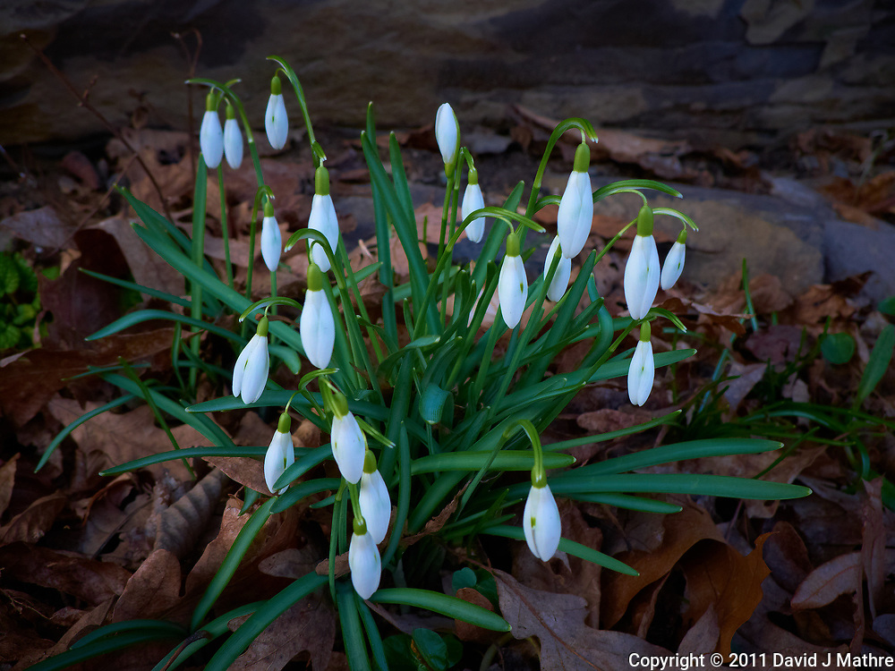 Late winter snow drop flowers. Spring must be coming. Image taken with a Leica D-Lux 5 camera (ISO 100, 8 mm, f/3.2, 1/100 sec).