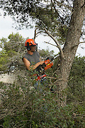 Israel, Galilee, Biria forest, Foresters working in a pine forest, cutting down trees to to thin out the forest.