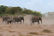 African elephants in Amboseli National Park, Kenya.