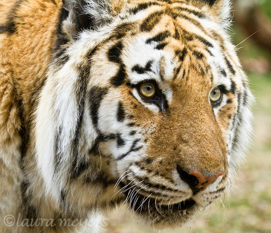 Siberian Tiger Closeup (Captive)