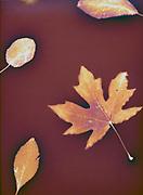 WA13677-00...WASHINGTON - Autumn leaves on warm toned paper - a luman image.