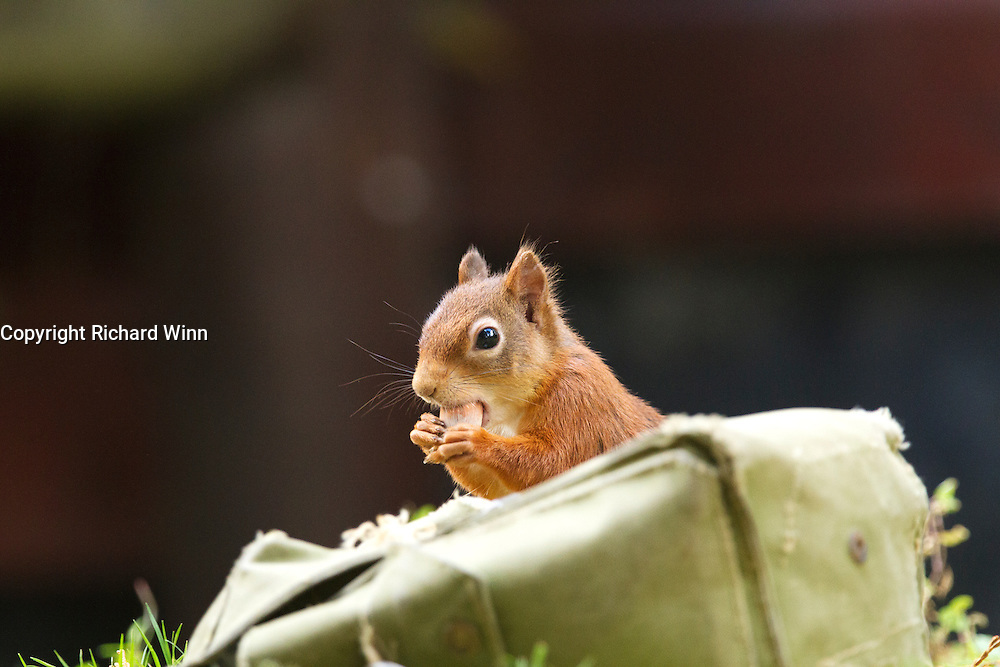 Red squirrel stealing hazelnuts from a supply of bait stored in a satchel at the Aigas Field Centre