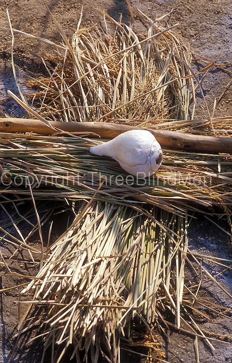 Conch shell on threshing floor after paddy harvest. c1990