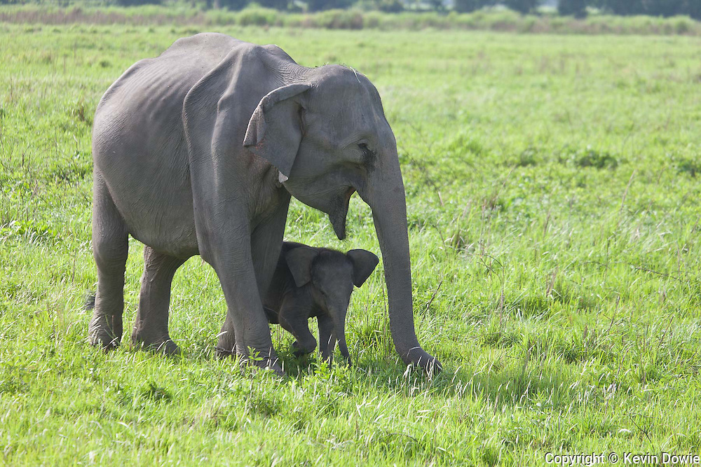 The Indian elephant (Elephas maximus indicus) is one of three recognized subspecies of the Asian elephant and native to mainland Asia. Listed as Endangered by IUCN, the population has declined by at least 50% over the last 60 to 75 years or three generations. <br /> The main threats to Asian elephants today are habitat loss, degradation, and fragmentation, which are driven by an expanding human population, and lead in turn to increasing conflicts between humans and elephants when elephants eat or trample crops.  The exploitation for ivory and the associated poaching remains a grave concern.