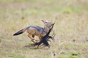Black-backed Jackal<br /> Canis mesomelas<br /> Playful 7 week old pup(s) running with wildebeest tail<br /> Masai Mara Triangle, Kenya