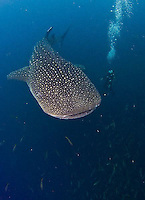 Biak and Cenderawasih Bay diving and area. Whale sharks, reefs and WWII shipwrecks are found in the area.<br />