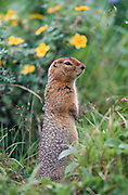 Alaska. Denali NP. Arctic ground squirrel (Spermophillus perryii) with cinquefoil flowers in background.