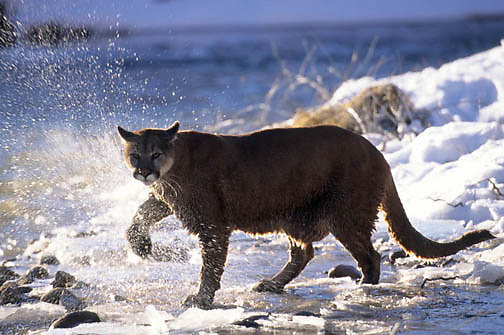 Mountain Lion or Cougar, (Felis concolor) Adult in red rock country of Utah shaking water from paw. Montana. Captive Animal.