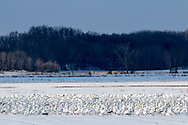 Wawayanda, New York - Snow geese in a farm field on Feb. 16, 2017.