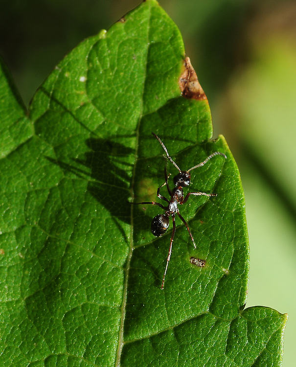 An ant and its shadow on a leaf. (Sam Lucero photo)