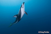 Pacific white-sided dolphin, Lagenorhynchus obliquidens<br /> off San Diego, California, U.S.A. ( Eastern Pacific Ocean )