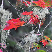 9/30/10 -- Acadia National Park, Maine. Red leaves and old man's beard.  Country Walkers Sept 26 2010 tour.   Photo by Roger S. Duncan.
