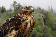 Galapagos hawk (Buteo galapagoensis) on a rock. This bird of prey is native to the Galapagos Islands, where it feeds on a wide variety of prey that includes lizards, doves, iguanas and even small goats. Photographed in the Galapagos Island, Ecuador