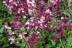 Salvia 'Krystle Pink' with Salvia 'Love and Wishes'