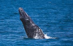 A humpback whale breaches at Lombadina on the Kimberley coast.