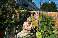 UK. London. Residents of the soon to be demolished Aylesbury Estate in Walworth in South East London, tend to their vegetables during an Aylesbury Community Garden open day..Photo@Steve Forrest