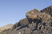 Endemic Marine iguana, Amblynchus cristatus mertensi on Puero Egas on Santiago Island in the Galapagos Islands National Park and Marine Reserve, Ecuador.