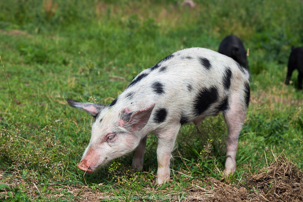 Tamworth and Berkshire heritage cross-breed piglets enjoying sun, grass and freedom in a farm field.  Pigs from this cross come out in a variety markings-- plain or spotted--and in colour combinations of black, white, and red.