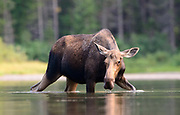 Cow Moose (Alces alces), Western North America