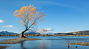 A brilliant golden tree shines along the shore of Lake Wanaka, New Zealand.