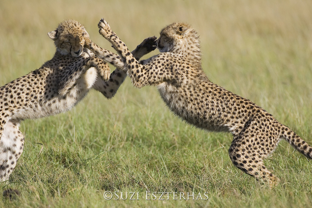 Cheetah <br /> Acinonyx jubatus<br /> 7-9 month old cubs playing<br /> Masai Mara Conservancy, Kenya