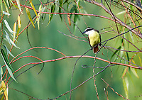 Great Kiskadee (Pitangus sulphuratus) perched in tree Lake Chapala, Ajijic, Jalisco, Mexico.