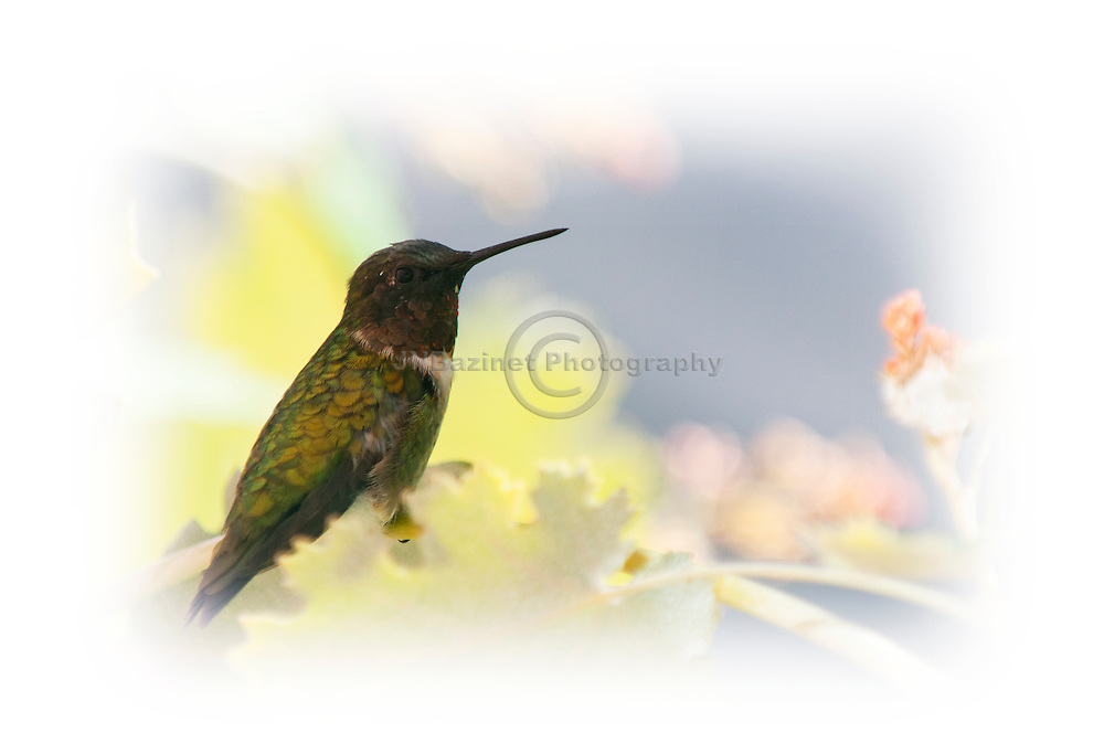 A male hummingbird hidden among the leaves a flowering plant.