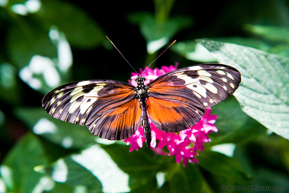 A butterfly feeds on the nectar of a flower in a  garden setting.