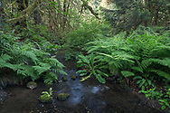 Lady Ferns (Athyrium filix-femina), Western Skunk Cabbage (Lysichiton americanus) and Salmonberries (Rubus spectabilis) growing along Duck Creek.  Photographed at Duck Creek Park on Salt Spring Island, British Columbia, Canada.