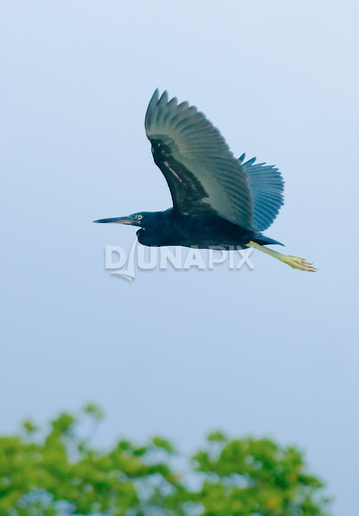 Dark morph of Pacific Reef-egret (Egretta sacra).