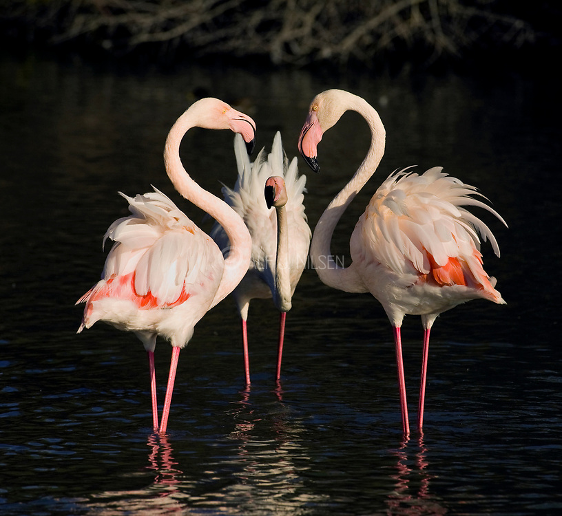 Heartbreaking Greater Flamingos (Phoenicopterus roseus) from Camargue, France.