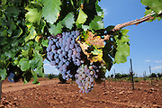 Augustfest is celebrated  with wine-tasting, winery and vineyard tours, horseback rides, grape-stomping, music, and lunch at the Sonoita Vineyards Harvest Festival at Sonoita Vineyards, a winery in Elgin, Arizona, USA.