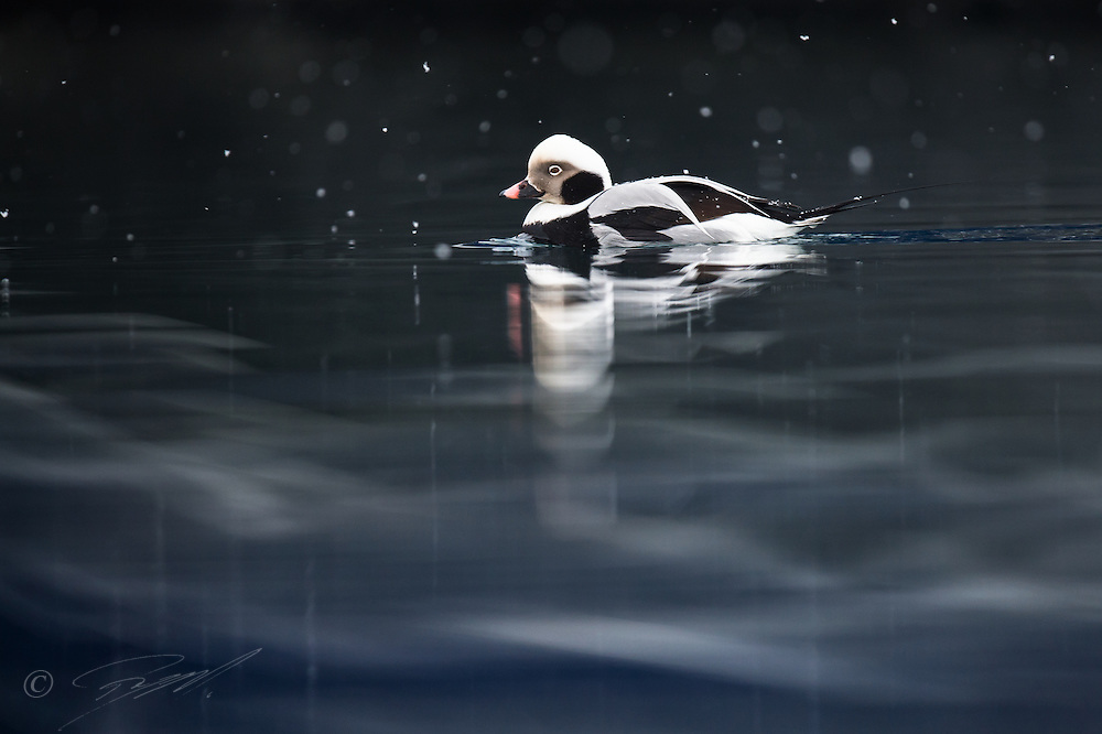 A male Long-tailed Duck is resting on nice reflection in Finnmark, northern Norway, as light snow is falling from the sky.