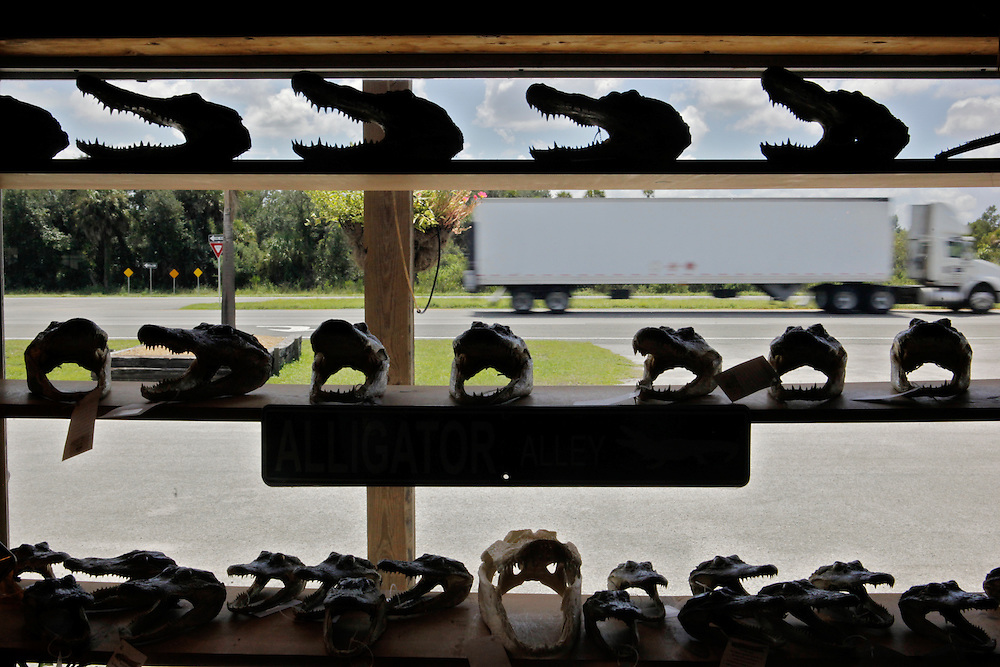 A truck passes by a window full of alligator heads inside the gift shop at Gatorama in Palmdale, Fla.