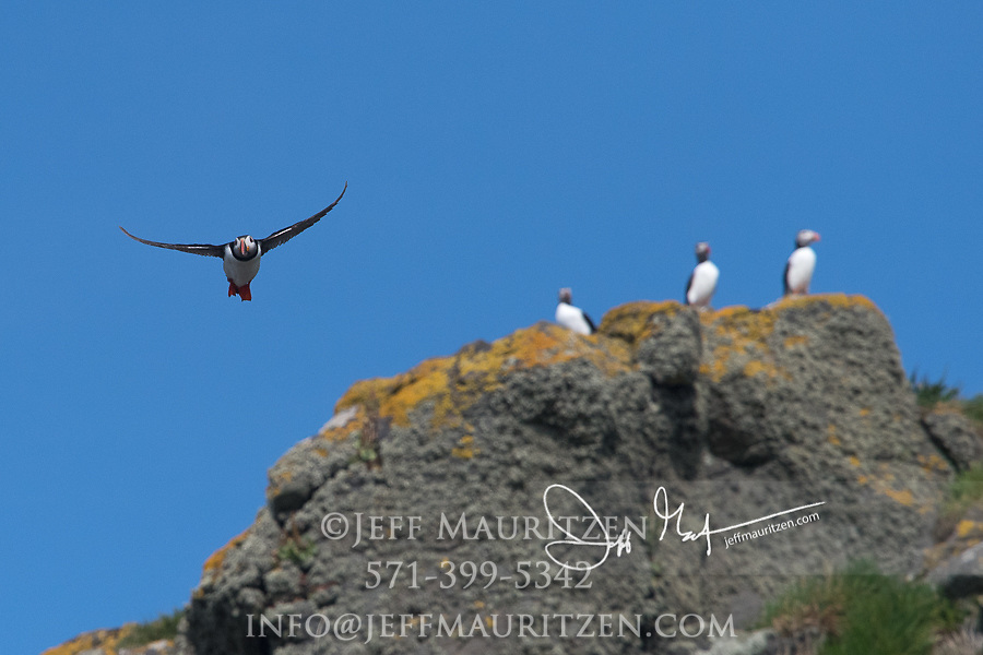 An Atlantic puffin takes flight from the cliffs of Skomer Island, a National Nature Reserve of Wales, U.K.