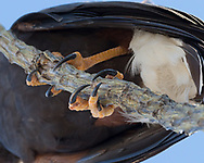 Harris's hawk grips an ocotillo stem with its long talons, © 2012 David A. Ponton