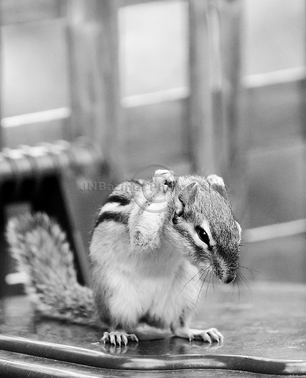 Arms raised above head, a chipmunk forms fists with its hands.
