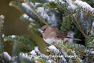 01569-015.01 Dark-eyed Junco (Junco hyemalis) in Balsam fir tree in winter, Marion Co. IL