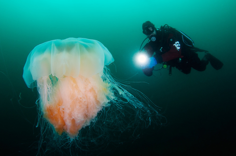Diver and the lion's mane jellyfish (Cyanea capillata).<br /> This is the largest known species of jellyfish. Its range is confined to cold, boreal waters of the Arctic, northern Atlantic, and northern Pacific Oceans, seldom found farther south than 42&deg;N latitude.<br /> Location: Koster National Park, Sweden