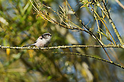 A long tailed tit, pausing while it feeds as part of a roving band in a tree at Westhay Moor National Nature Reserve.