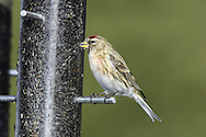 Lesser Redpoll Carduelis cabaret L 12-14cm. Well-marked finch. Forms flocks outside breeding season, and mixes with Siskins. Bill is yellow and conical. Sexes are separable. Adult male has streaked grey-brown upperparts, darkest on back. Underparts are pale but dark-streaked. Note red forecrown, black bib and lores, white wingbar, pale, streaked rump and often pinkish flush to the breast. Adult female and juveniles are similar but lack pinkish flush to breast. Voice Utters a rattling chek-chek-chek call in flight. Song is wheezing and rattling. Status Widespread and fairly common. Breeds in birch woodland and favours birches and Alders in winter.