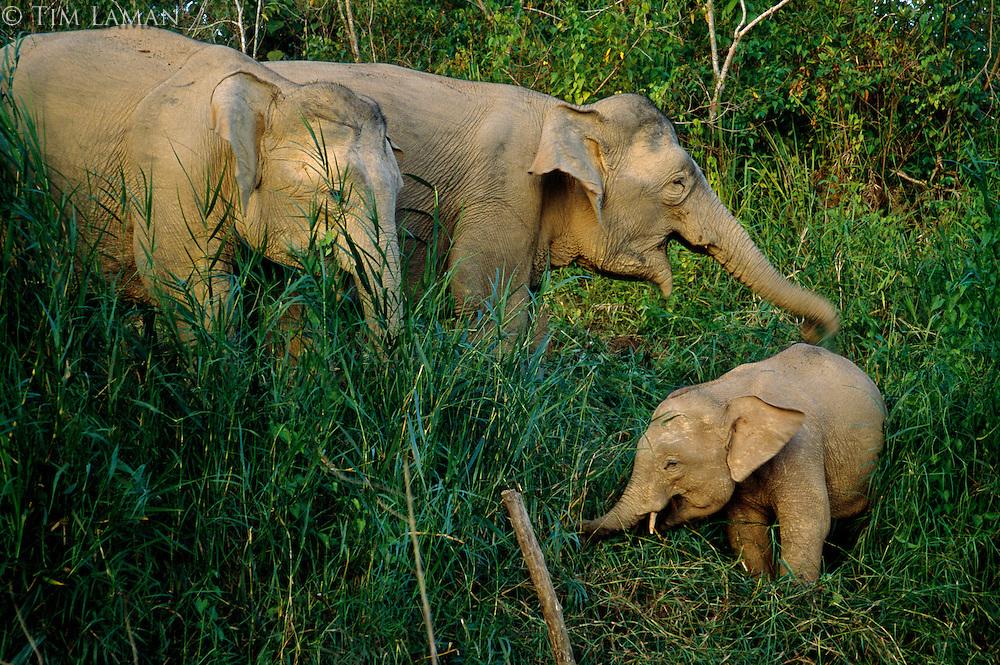 Female Borneo Pygmy Elephants (Elephas maximus borneensis) with a baby.