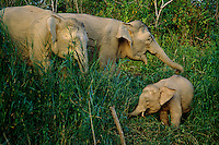 Female Borneo Pygmy Elephants (Elephas maximus borneensis) with a baby.