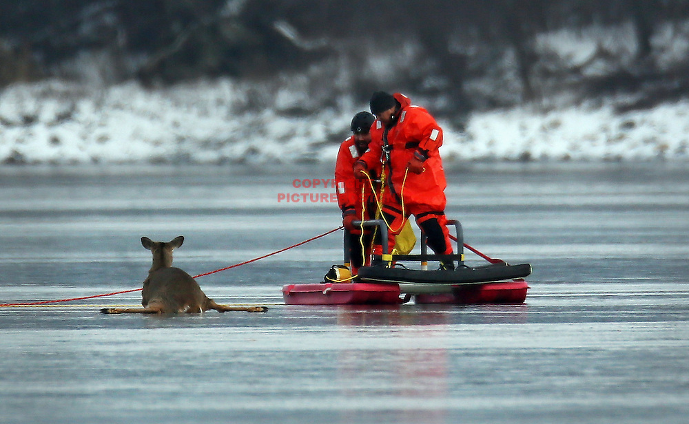 Waltham,MA-01/04/13- Waltham firefighters and Animal Rescue League personnel are seen on Cambridge Reservoir this afternoon as they try to rescue one of two deer that fell through the ice, today, January 4, 2013