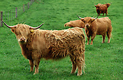 Highland Cattle,  Scotland, United Kingdom.
