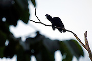 Piñas, Ecuador - Thursday, Jan 10 2008: A silhouette of a Long-wattled Umbrellabird (Cephalopterus penduliger) sitting on a branch in Buenaventura Reserve, El Oro province, Ecuador.  (Photo by Peter Horrell / http://www.peterhorrell.com)