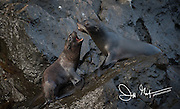Galapagos Fur sea lions challenge each other on a rock at Punta Vicente Roca on Isabella island in the Galapagos.