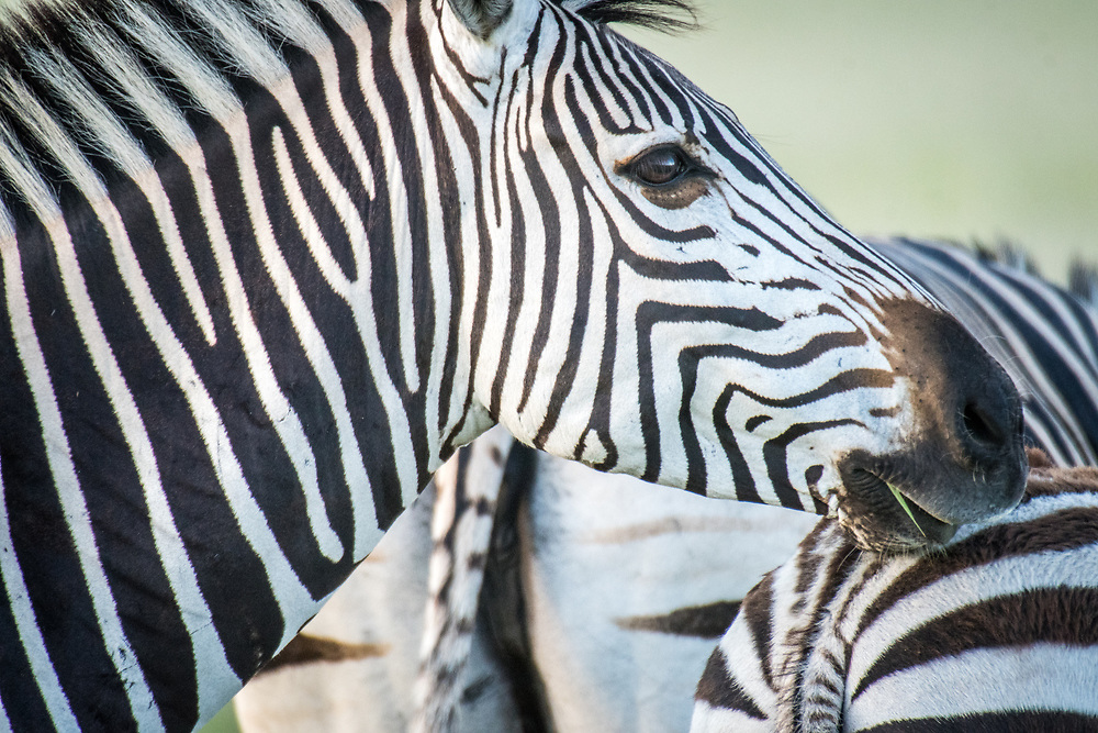 A close up shot of a zebra in Hwange National Park. Hwange, Zimbabwe.